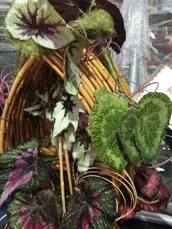 Rex begonia display by City of Ballarat and Begonia Societies of Victoria