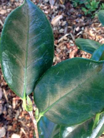Camellia leaves with mite damage