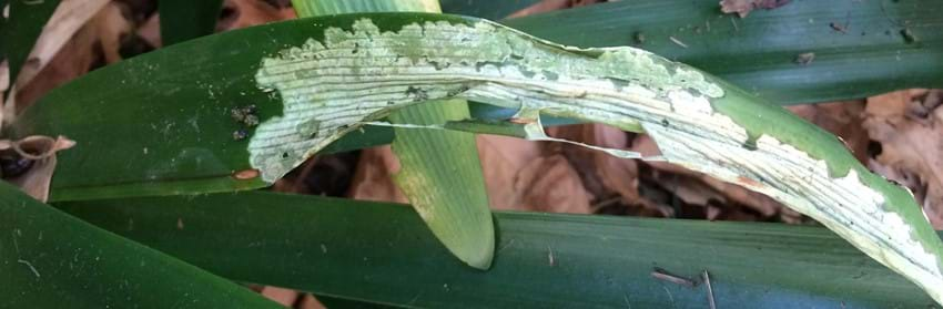 Lily caterpillar damage to clive leaf