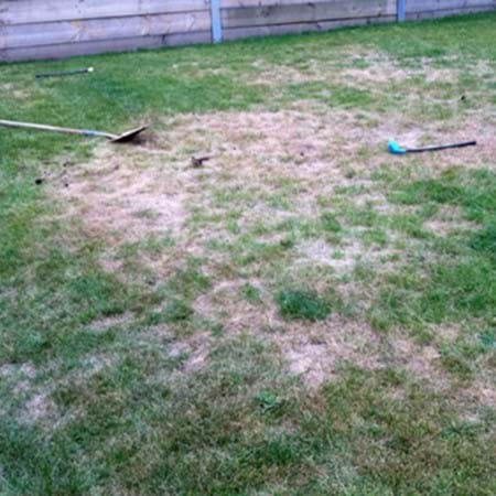 Damaged lawn caused by curl grubs