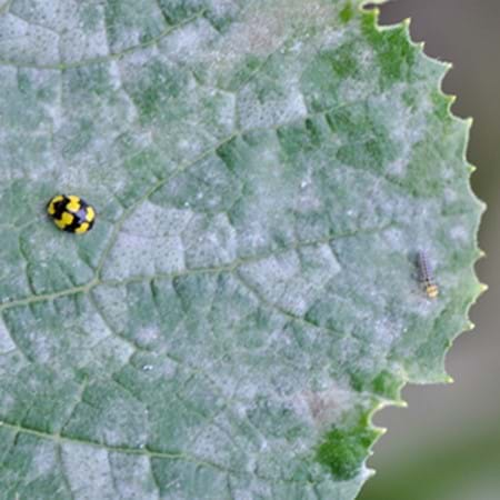 Zucchini leaf with powdery mildew (note the adult and juvenile ladybeetle feeding on the mildew)