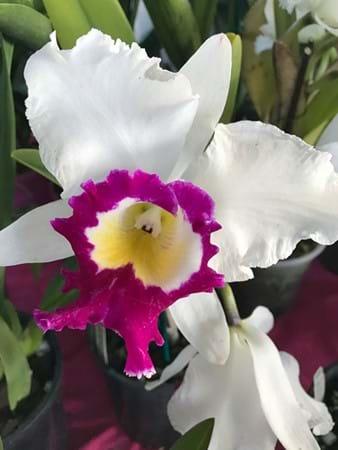 Stunning flower on this Brassolaeliacattleya Blanche Aisaka 'Yuki'