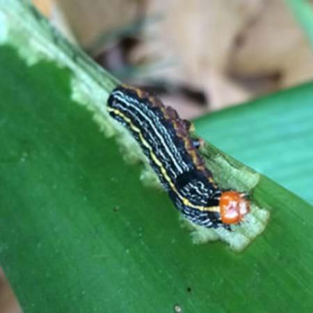 Lily caterpillar feeding on clivea leaf