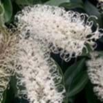 Ivory Curl Tree