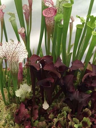 Awesome display of carnivorous plants by Triffid Park