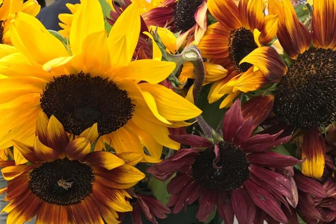Sunflower diversity from Copsley Ornamentals
