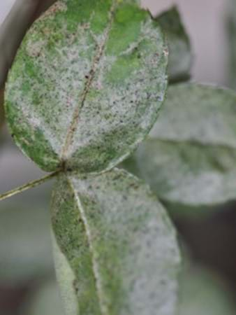 Rose leaves with mite damage