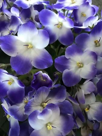 This African violet is called 'Monet' and was impossible to miss!