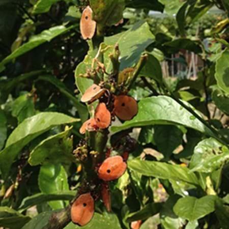 Juvenile bronze orange bug