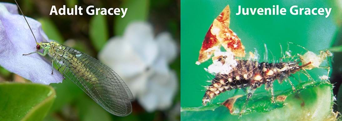 Gracey adult and juvenile (green lacewing)