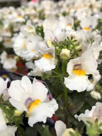More subdued but still charming were the nemesia