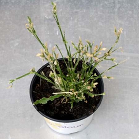 Dianthus untreated and eaten by grasshoppers