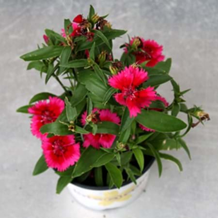 Dianthus treated with eco-neem for grasshopper protection