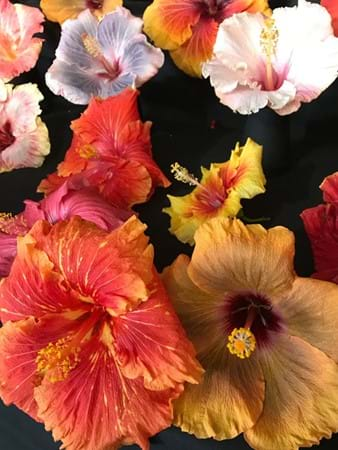 Enormous flowers on display by the Australian Hibiscus Society
