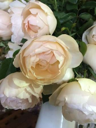 New release David Austin rose Wollerton Old Hall
