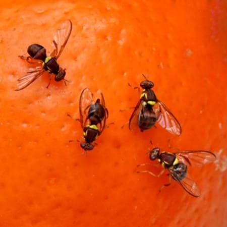 Queensland Fruit Fly stinging an orange