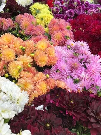 Dahlias put on such a great autumn display and always look stunning at the show
