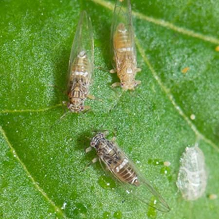 Tomato potato psyllid (adults and nymph). Image copyright: Western Australian Agriculture Authority (Dept of Ag & Food, WA)