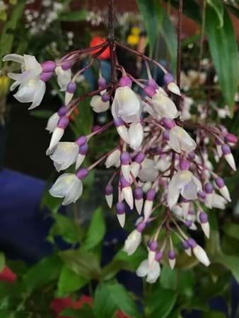 Hanging flowers on the chandelier plant (Medinilla dolichophylla)