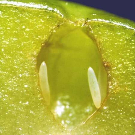 Fruit fly eggs in an apple