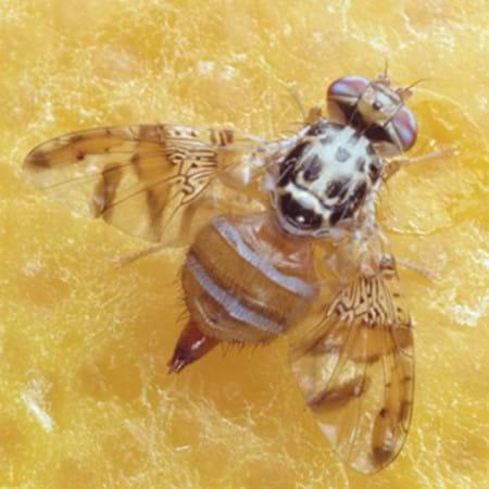 Mediterranean fruit fly (Medfly)