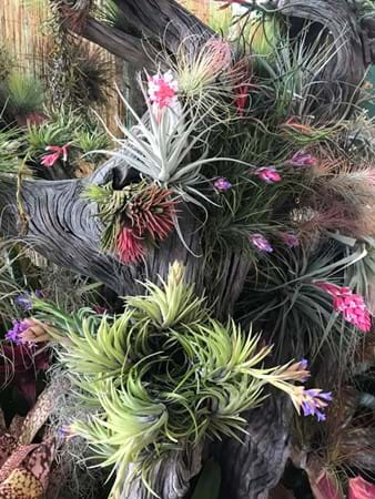 Simply awesome display of airplants (Tillandsias) by Dandaloo Valley Bromeliads