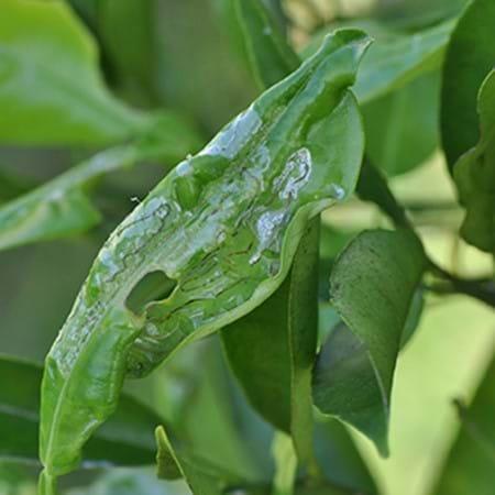 Citrus leafminer's distinctive damage to citrus leaves