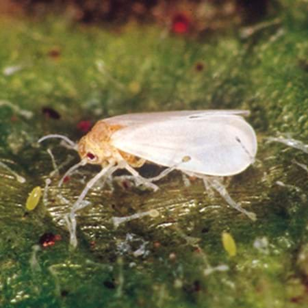 Adult whitefly with pale yellow eggs
