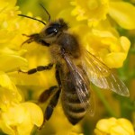 How To Attract Bees and Pollinators