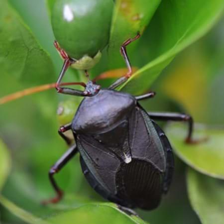 Adult bronze orange bug