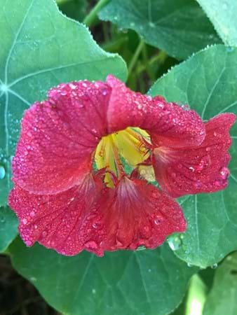 Something we rarely see is the cherry rose nasturtium