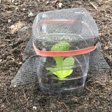 Seedling guards are easy to make and very effective