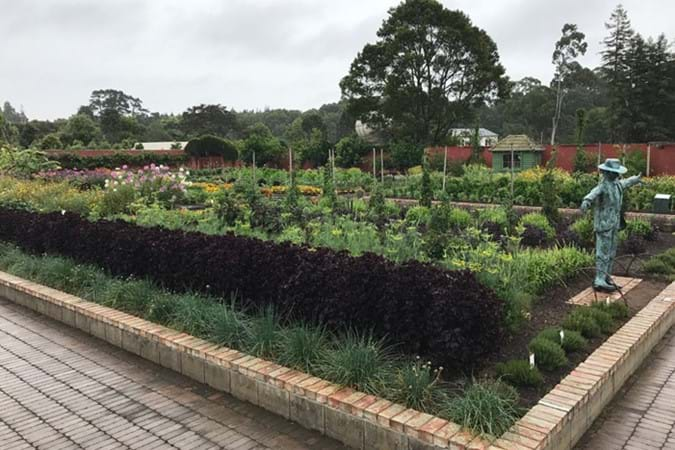 Enormous Kitchen Garden with distinctive purple shiso growing at the front