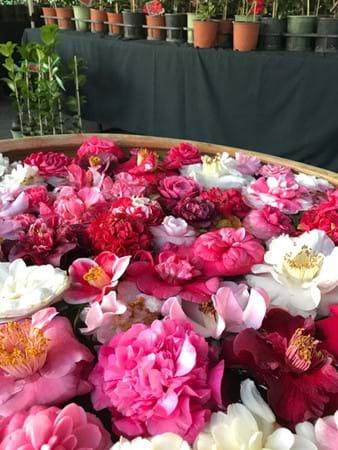 Camellia blooms on display by Camellia Glen Nursery